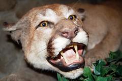 7a. Mountain Lion