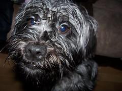 dog breed, animal, dog, schnoodle, pet, tibetan terrier, bolonka, poodle crossbreed, havanese, schnauzer, cairn terrier, miniature schnauzer, affenpinscher, carnivoran, terrier,