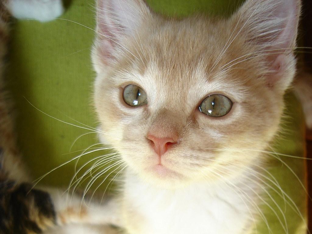 foster kitten Latte
