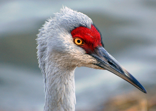 Sandhill Crane (Head Shot)