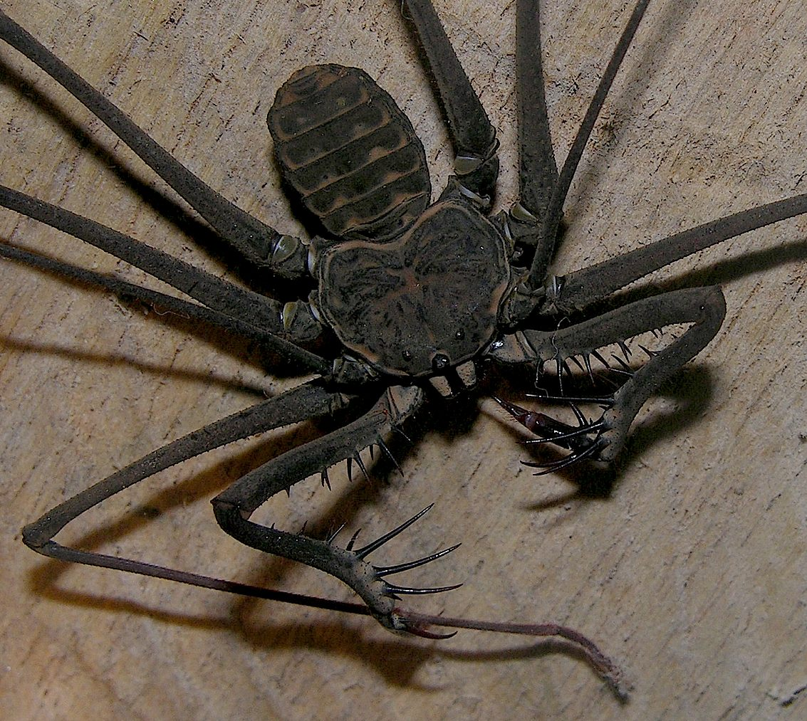 trapdoor spider size