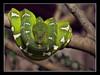 Emerald Tree Boa (Corallus caninus, Hundskopfboa) by guenterleitenbauer