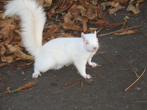 White Squirrel Looking Alert
