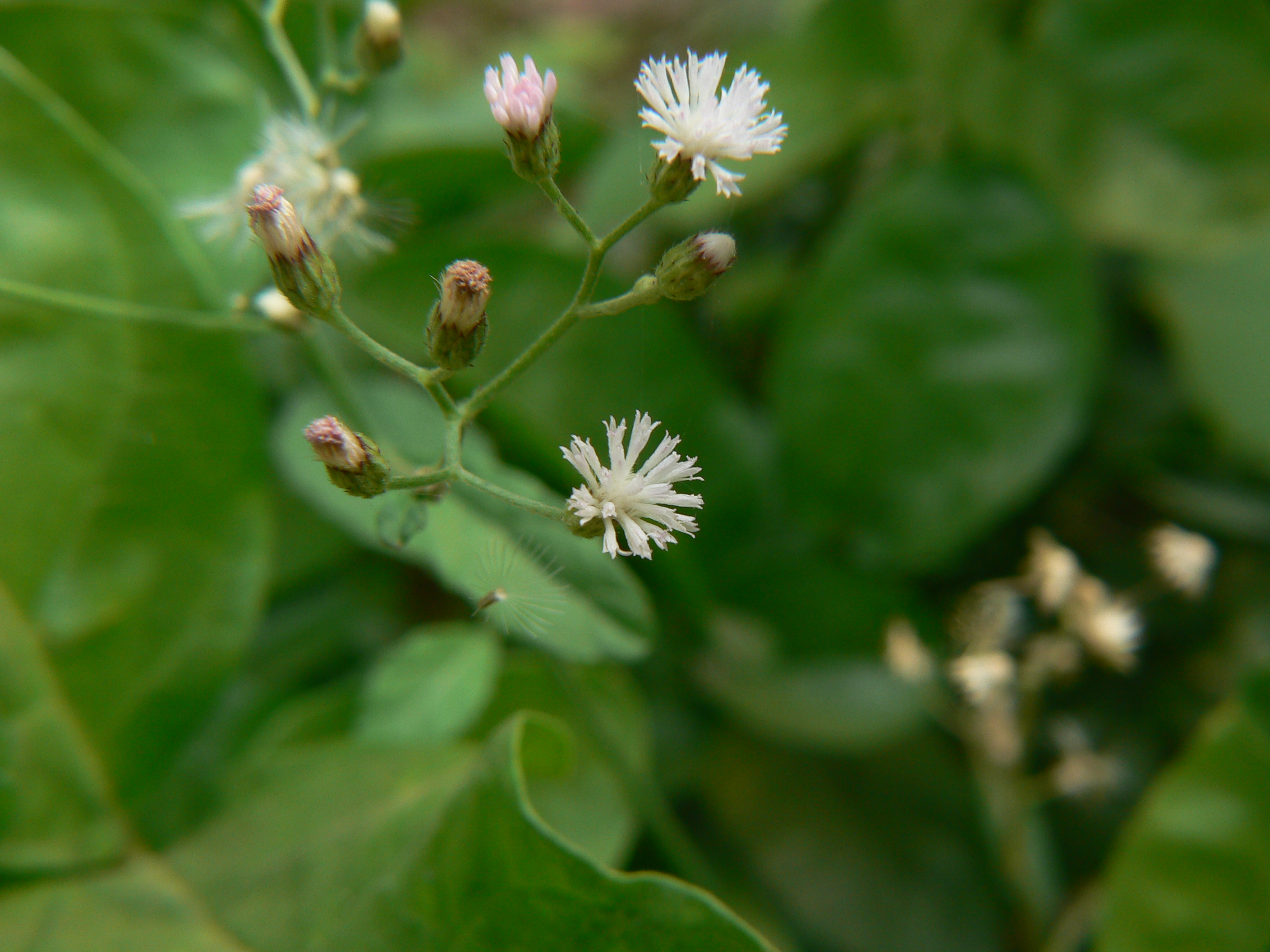 Daisy flower meaning in tamil
