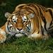 Siberian Tiger (Tatiana) San Francisco Zoo Escape (2003-2007) by Stephen Oachs (ApertureAcademy.com)