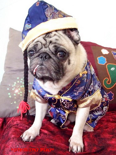 *SMILING PUG* - 恭喜发财! Gong Xi Fa Cai! , HAPPY CHINESE NEW YEAR, PUG CHINADOLL MODEL BY BUGBABY *-*
