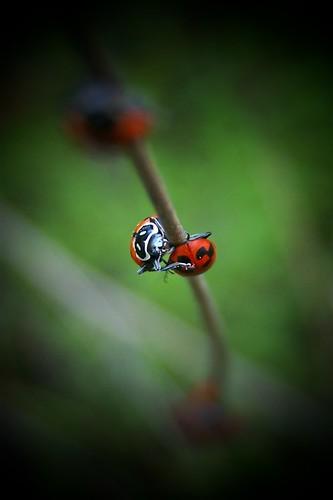 red macro nature insect beetle spotlight ladybird ladybug coccinellidae z612 kodakz612 anawesomeshot natureoutpost