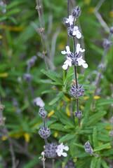 pennyroyal(0.0), hyssopus(0.0), english lavender(0.0), flower(1.0), rosemary(1.0), plant(1.0), subshrub(1.0), flora(1.0),