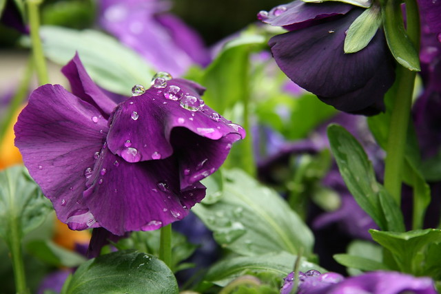 Rain Drops on Purple Pansy