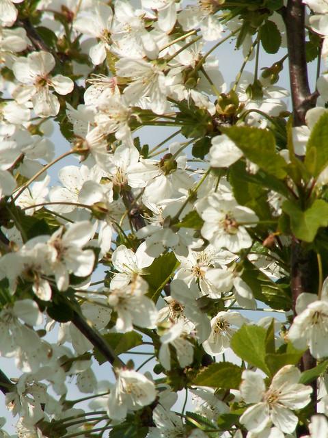 Pennrich Blüten in zarter Pracht 027