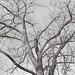 Baum by ako_law