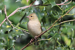 Chaffinch in a holly bush