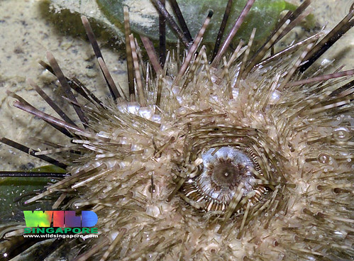 Short spined black sea urchin (Temnopleurus toreumaticus)