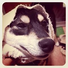 雨に濡れて拭いていたら、与作みたいになった柴犬