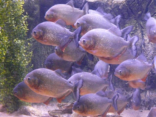 Red-bellied Piranha   ...