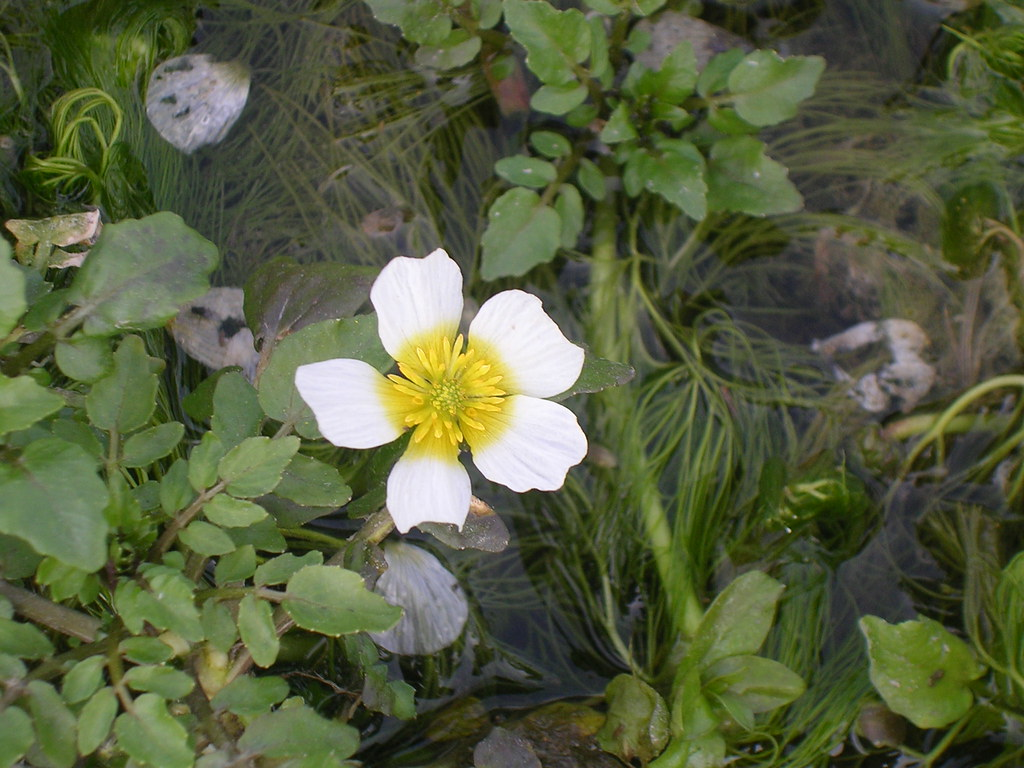 Water Crowfoot Marlow Circular