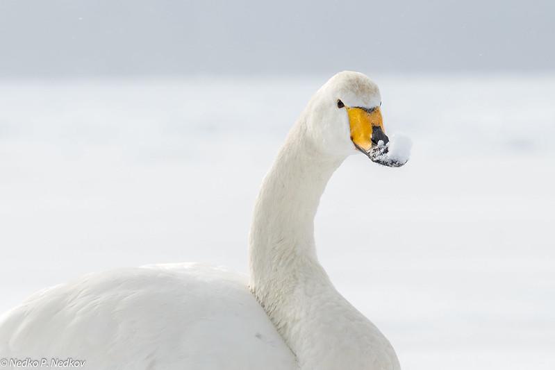 Snow-Swan