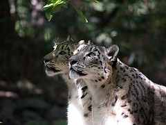 ocelot(0.0), animal(1.0), snow leopard(1.0), big cats(1.0), mammal(1.0), fauna(1.0), whiskers(1.0), wildlife(1.0),