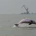 Chinese Pink Dolphin, Hong Kong