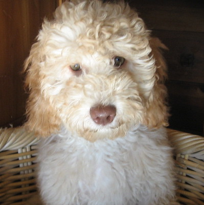 Labradoodle Puppies on Cream Apricot Labradoodle Puppy   Flickr   Photo Sharing