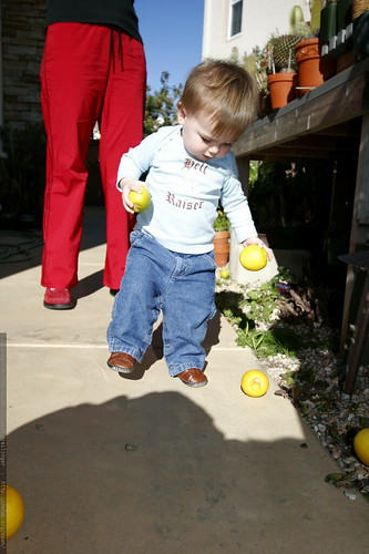 sequoia collecting yellow limes    MG 9733