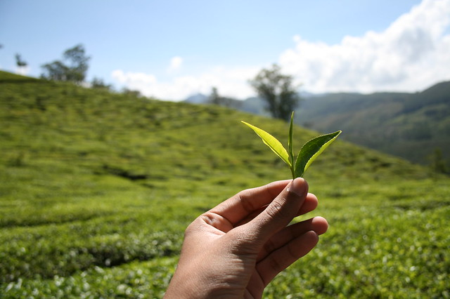 plucking tea leaves