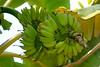 banana(2)