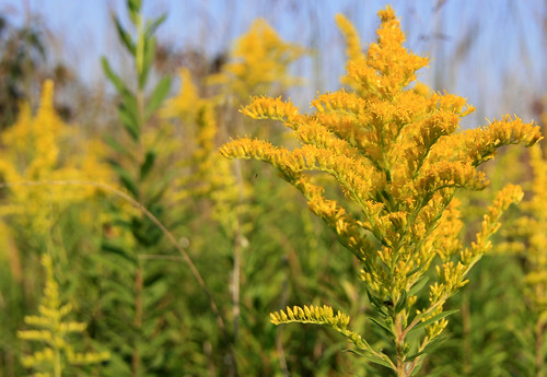 Goldenrod at Bernheim Arboretum and Forest