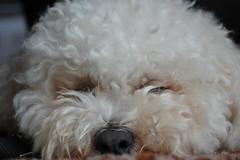 poodle(0.0), toy poodle(1.0), miniature poodle(1.0), bichon frisã©(1.0), dog breed(1.0), animal(1.0), dog(1.0), cavachon(1.0), schnoodle(1.0), pet(1.0), lagotto romagnolo(1.0), coton de tulear(1.0), bolonka(1.0), poodle crossbreed(1.0), havanese(1.0), bichon(1.0), dandie dinmont terrier(1.0), cockapoo(1.0), maltese(1.0), bolognese(1.0), carnivoran(1.0),