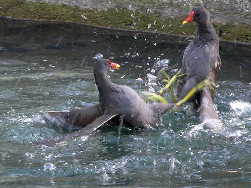 Fighting Moorhens on Albion Channel