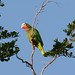 Small photo of Cuban Parrot (Amazona leucocephala)