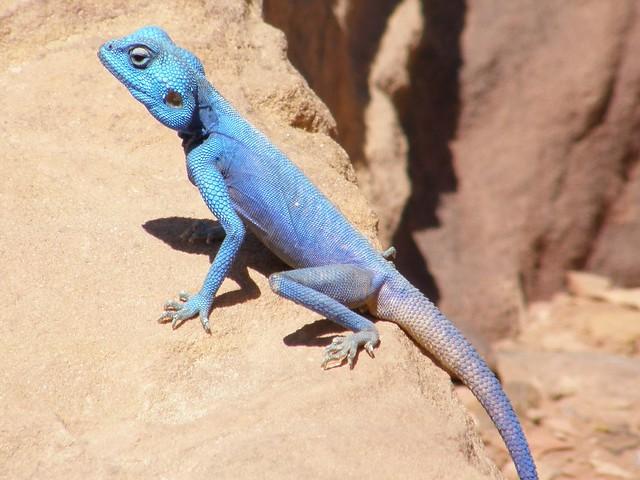 Agama azul del Sinaí / Sinai Blue Agama (Pseudotrapelus sinaitus)