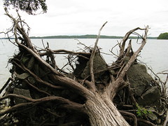root, driftwood, branch, wood, tree, flora, trunk,