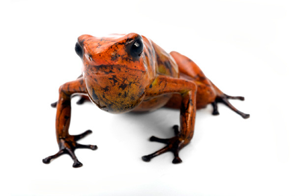 Dendrobatidae: Dendrobates sylvaticus