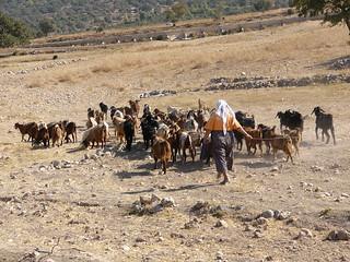 The goat-herder