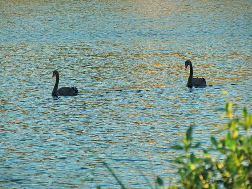 newzealand lake black bird swan rotorua native exotic rotoiti cygnus introduced atratus