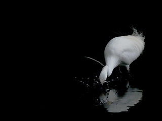 小白鷺 Little Egret