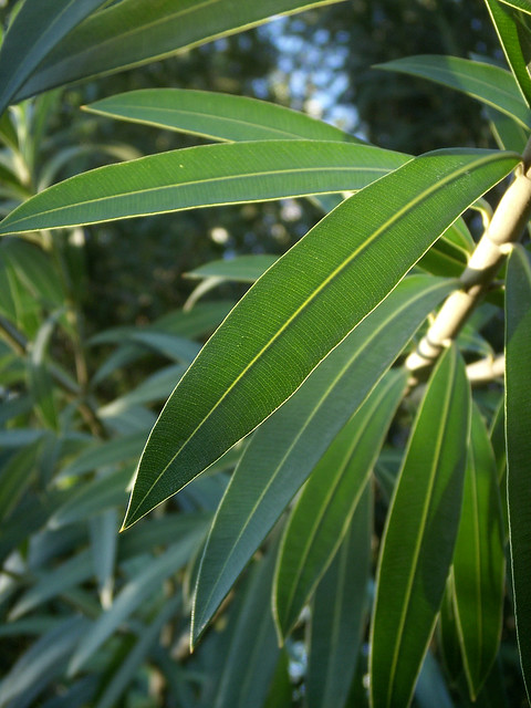 Oleander Leaves with Sky | This is the better image of the ...