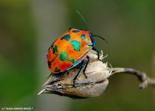 Tectocoris diophthalmus - Cotton Harlequin Bug on Native Hibiscus Seed Pod