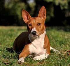 dog breed, animal, hound, dog, carolina dog, pet, ibizan hound, carnivoran, basenji, terrier,