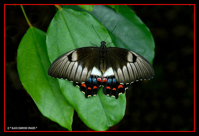 Papilio aegeus-  Orchard Swallowtail Butterfly (Female)