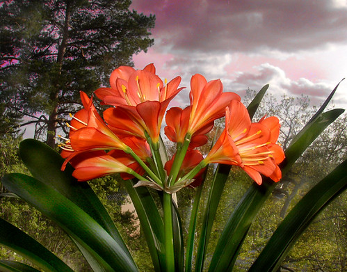 Indoor low light gardening plant profile clivia - Indoor flowering plants ...