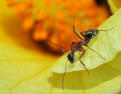 fire ant combat