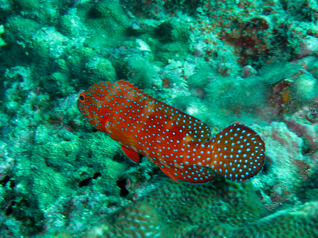 Red fish blue spots flickr photo sharing for Red fish blue fish