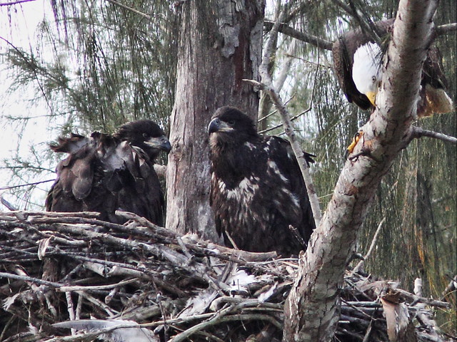 Bald Eaglets older Honor on right 20140314