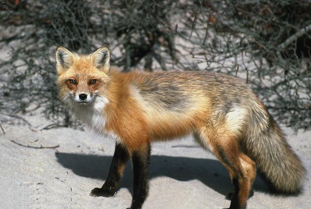 Fox-side profile-b | F...