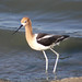 American Avocet - Photo (c) C.V. Vick, some rights reserved (CC BY-NC-ND)