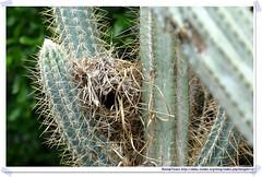 20041024_Guana@BVI_Bananaquit Nest_001_A