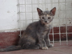 animal, small to medium-sized cats, cat, korat, carnivoran, whiskers, domestic short-haired cat,