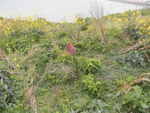 Lone gladiolus